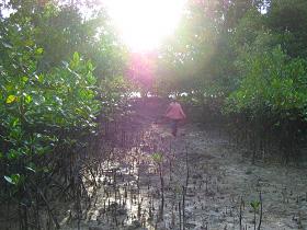 重油に汚染されたマングローブ林でサンプリング(フィリピン)