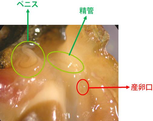 インポセックスを誘発したイボニシ♀個体