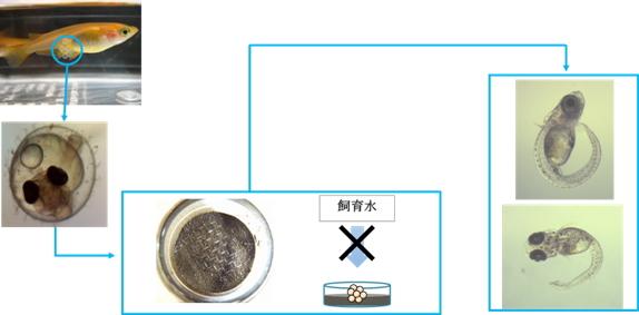 ヒメダカ卵を使った底質影響試験の概念図